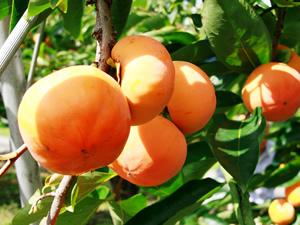 石岡の観光果樹園